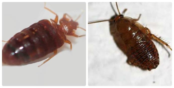 клопы выглядят как тараканы фото