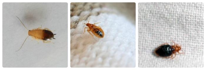 личинки таракана и клопа фото