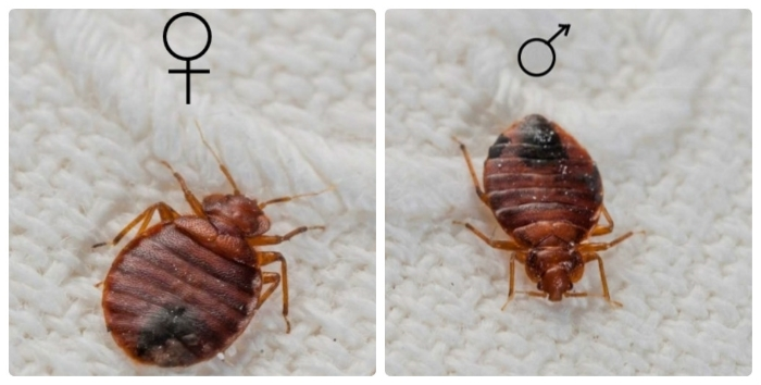 фото самки и самца клопа