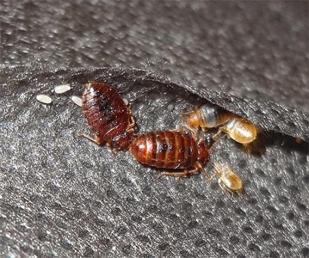 Постельные клопы и их личинки